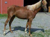 Arabian - Gracie - Large - Adult - Female - Horse