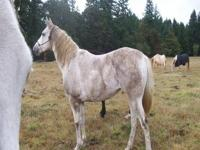 Arabian - Gypsy - Medium - Senior - Female - Horse