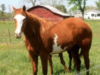 i have an arabian gelding nice horse willing to sell or