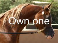 Beautiful Arabian Horses for sale in Shreveport,