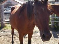 Arabian - K.d. - Medium - Adult - Female - Horse K.D.