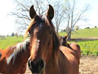 Arabian - Maggie - Medium - Young - Female - Horse