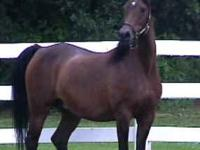 18 yr Old Easy keeper, Walk Trots and Canters, with