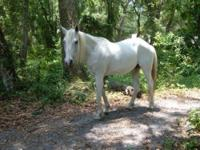 Arabian - Marisol - Large - Adult - Female - Horse