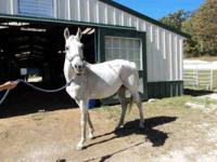 Arabian - Mick - Large - Adult - Male - Horse Mick is a