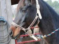 Arabian - Monty - Large - Young - Male - Horse Monty is