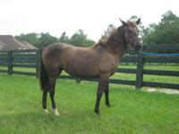 Arabian - Monty - Medium - Young - Male - Horse Monty