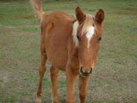 Arabian - Morning - Medium - Baby - Female - Horse Cute