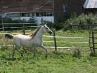 Arabian - Nalda - Large - Adult - Female - Horse Nalda,