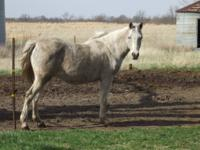 Arabian - Noori - Large - Adult - Male - Horse