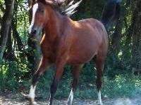Arabian - Prancer - Medium - Adult - Female - Horse