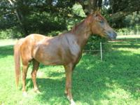 Arabian - Racer - Large - Young - Male - Horse Racer is