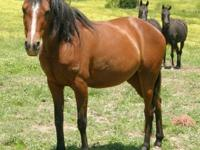 Arabian - Ria - Large - Adult - Female - Horse