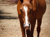 Arabian - Rusty - Medium - Senior - Male - Horse Rusty