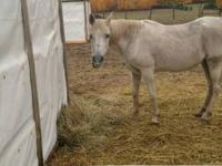 Arabian - Sally Sue - Medium - Senior - Female - Horse
