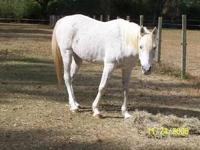 Arabian - Samara - Small - Adult - Female - Horse
