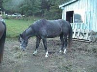 Arabian - Sandy - Medium - Senior - Male - Horse *****