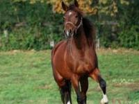 Arabian - Scarlett - Large - Adult - Female - Horse