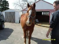 Arabian - Shakespeare - Large - Senior - Male - Horse
