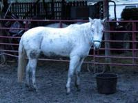 Arabian - Sir - Medium - Senior - Male - Horse Sir is a