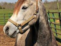 Arabian - Smokey - Medium - Adult - Male - Horse Smokey