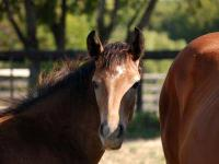 Arabian - Spring - Medium - Baby - Female - Horse Now a