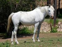 Arabian - Susie Q - Large - Adult - Female - Horse