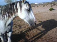 Arabian - Thunder - Medium - Senior - Male - Horse