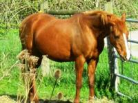 Arabian - Toradawn - Medium - Senior - Female - Horse