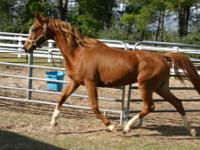 Arabian - Varsity - Medium - Adult - Female - Horse