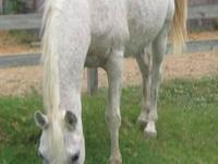 Arabian - White Arabian - Large - Adult - Female -