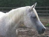 Arabian - Willow - Medium - Adult - Female - Horse