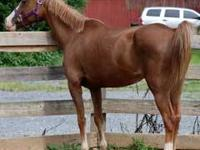 Arabian - Amber - Small - Senior - Female - Horse AMBER