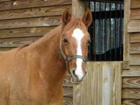 Arabian - Asa - Medium - Adult - Female - Horse Asa is