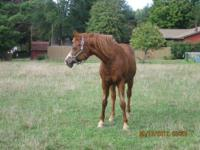Arabian - Baron - Medium - Senior - Male - Horse **This