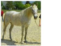 Arabian - Ellen - Medium - Adult - Female - Horse 19