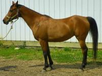 Arabian - Hallie - Medium - Young - Female - Horse 8