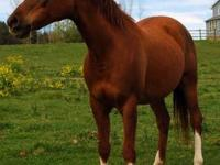 Arabian - Malone - Medium - Adult - Female - Horse 17