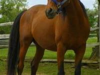 Arabian - Nabu - Medium - Young - Male - Horse 3 yrs,