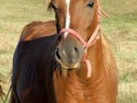 Arabian - Roscoe - Large - Young - Male - Horse Coming