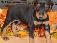Aramis is a black/rust male by Jr. World Winner Semper