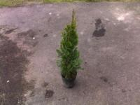 I have some Arborvitae for sale..asking $5 a piece for