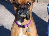 Archer's story I am a 4-5 year old fawn male Boxer. I