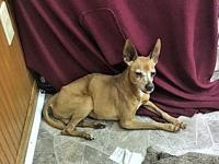 Archie's story Archie is a 12 pound Min Pin who was a