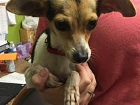 My story Archie - 3 year old male Toy Fox Terrier -