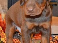 Arden is a red/rust male by Jr. World Winner Semper