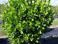We deliver and install beautiful Clusia, Podocarpus,