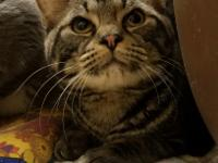 Ares is a handsome 10 month old American shorthair mix
