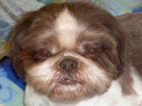 I am a beautiful dark red and white 7 yr old Shih Tzu