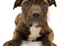Ariat is a stunning Mastiff/Pit/Lab mix puppy ready for